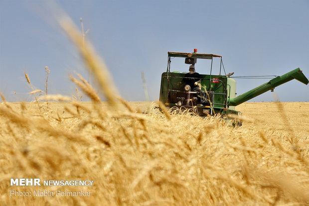 578 هزار تن گندم در آذربایجان شرقی خرید تضمینی شد