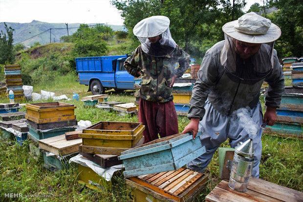 طرح سرشماری زنبورعسل در میانه اجرا می گردد