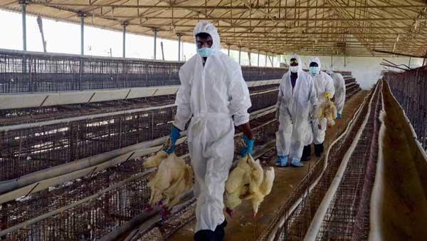 بروز آنفلوآنزای فوق حاد پرندگان در دشت آزادگان ، هشدار خودداری از خرید مرغ زنده