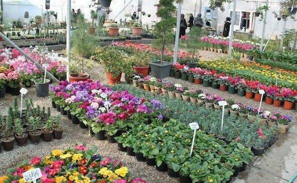 گلخانه مدرن تولید پایه گل در پیشوا افتتاح می شود